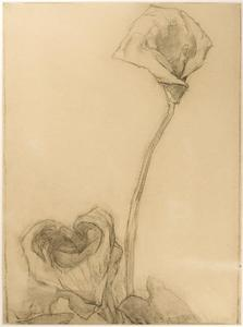 Two arum lilies