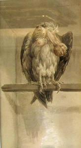 Harpij met kop onder vleugel
