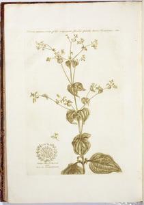 Vijfbloemige Milleria (Milleria quinqueflora)