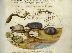 Egel, cavia (?), kalebas en hazelaar