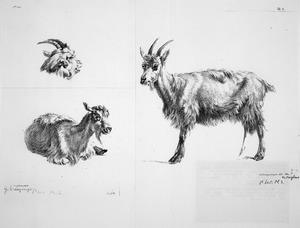 studieblad met geiten