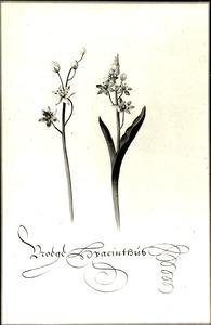 Studie van vroege sterhyacint 'Vroege Hyacinthus'