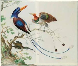 Drie paradijsvogels op een tak