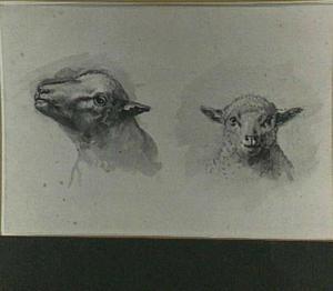Studies schapenkoppen