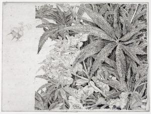 Plantenstudie Helleborus Viridis