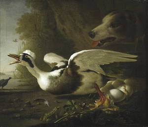 Broedende eend door een hond van haar nest gejaagd