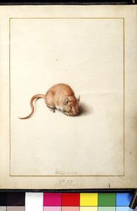 Muis knagend aan een vrucht