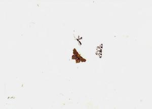 Twee vlinders en een sluipwesp (?)