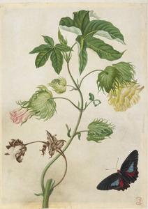 Amerikaanse katoen met exotische vlinder, mogelijk Parides neophilus