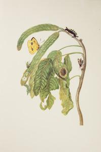 Boontjessoort met surita wespenmot en metamorfose van de gele sennavlinder