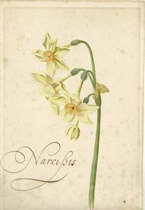 Studie van waternarcis 'Narcisis'