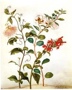 Passiebloem, kappertjesplant en rode lobelia
