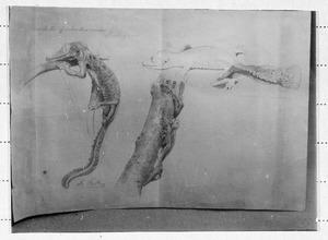 Drie schetsen van een gekko