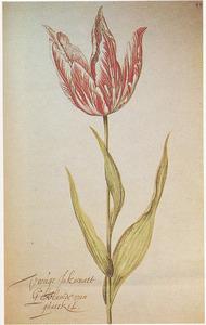 Tulp (Vroúge Inkarnaet Gehvlamde van qúaeckel)
