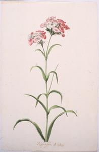 Tulp 'Dorethea de franse'