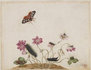 Leverbloempje met metamorfose van de bruine beervlinder