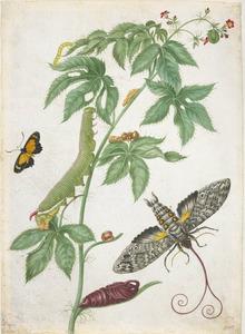 Buikpijnplant met metamorfosen van de reuzenpijlstaart en buikpijnplantvlinder