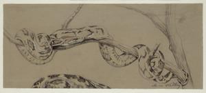 Kronkelende slang op tak