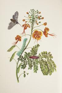 Pauwenbloem met metamorfose van de tabakpijlstaart