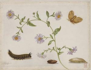 Nieuwnederlandse aster met metamorfose van vlinder