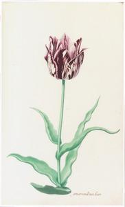 Tulp 'gemarmerde van kaer'