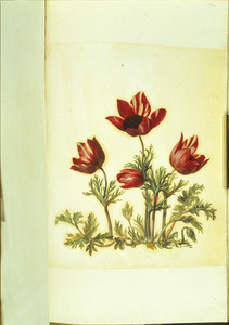 Vier tuinanemonen