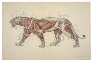 Anatomie van de leeuw: spieren