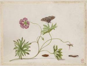 Bloedooievaarsbek met metamorfose van vlinder
