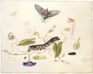 Surinaamse sfinxvlinder in verschillende levensstadia en andere insecten