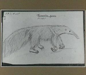 Tamandui guacu (Braziliaanse miereneter)