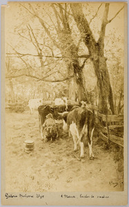Enclos de vaches