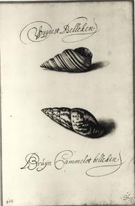 Studie van schelpen 'Wijgaest Belleken' en 'Brúijn Cammelot belleken'