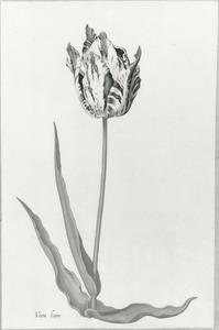 Tulp 'Veen boer'
