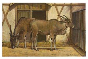 Livingstone's Eland-Antiloop