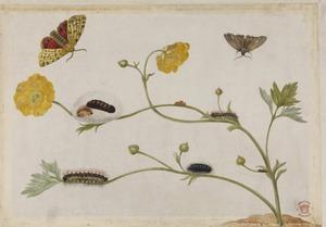 Scherpe boterbloem met metamorfose van twee vlinders, waaronder de grote beer