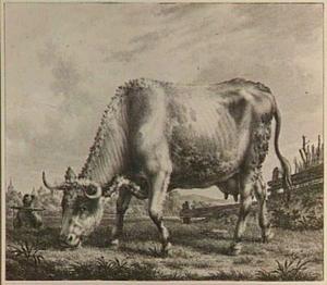 Grazende koe in de wei, naar links