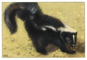 Stinkdier of skunk