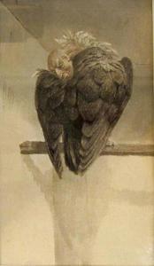 Harpij met kop tussen vleugels