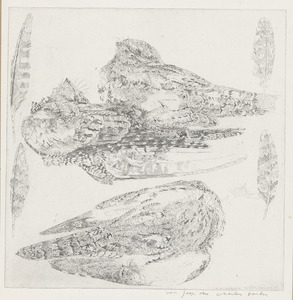 Nachtzwaluw in diverse standen en veren
