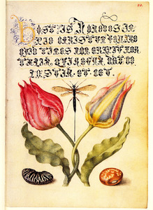 Twee tulpen, een boon, pronkboon en een insect