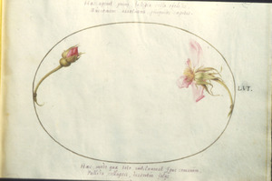 Roos en egelantier