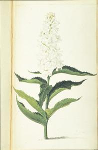 Damastbloem (gevuld wit)
