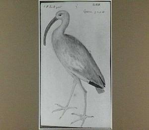 Guara (Ibis rubra)