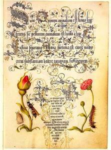 Franse roos, tuinmadelief, wesp en vlinder