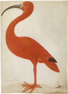 Rode ibis met ei