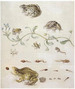 Metamorfose van de groene kikker en vergeet-mij-nietje