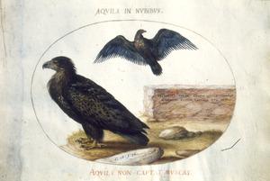 Twee arenden, waarvan een in vlucht met op de borst het wapen van Oostenrijk