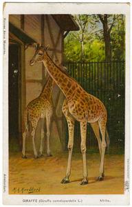 Giraffen in Artis