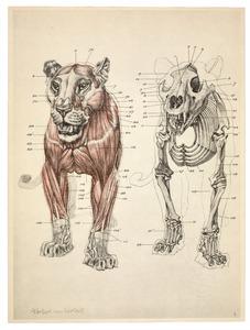 Anatomie van de leeuw: vooraanzicht spieren en skelet