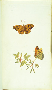 Kruidje-roer-mij-niet met twee vlinders